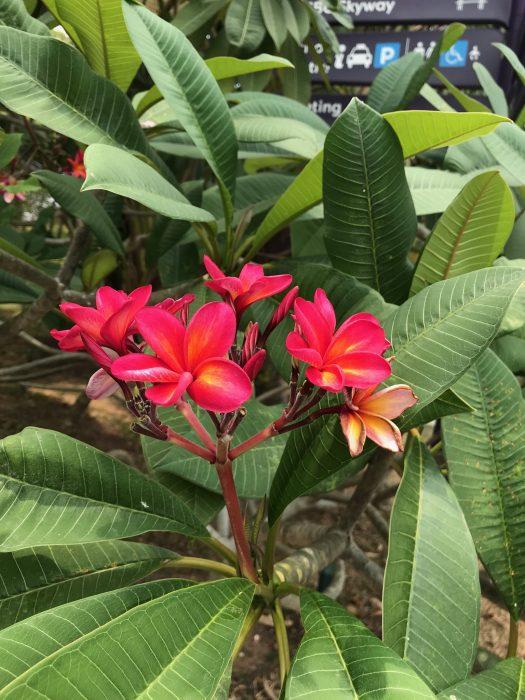 ガーデンズバイザベイの花2 プルメリア